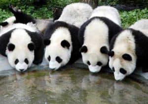 Panda 2.2 Pegando pandazos